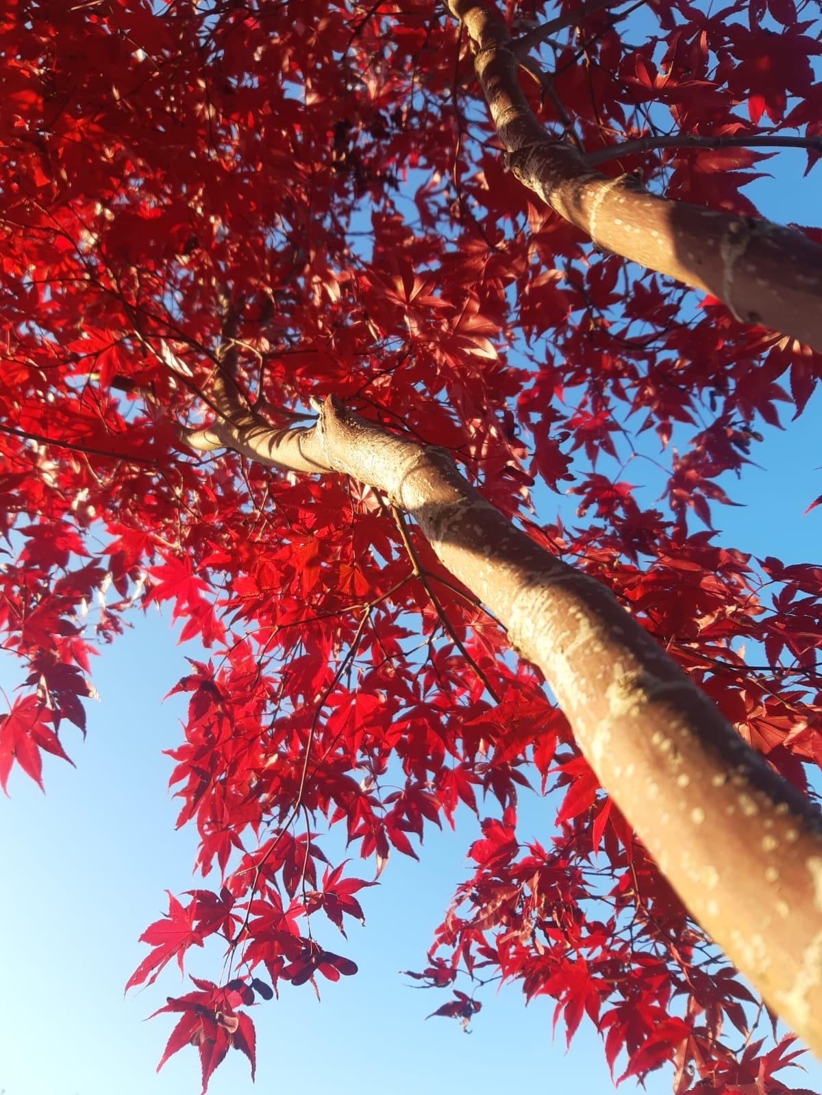 Arriva l'autunno Acero Rosso