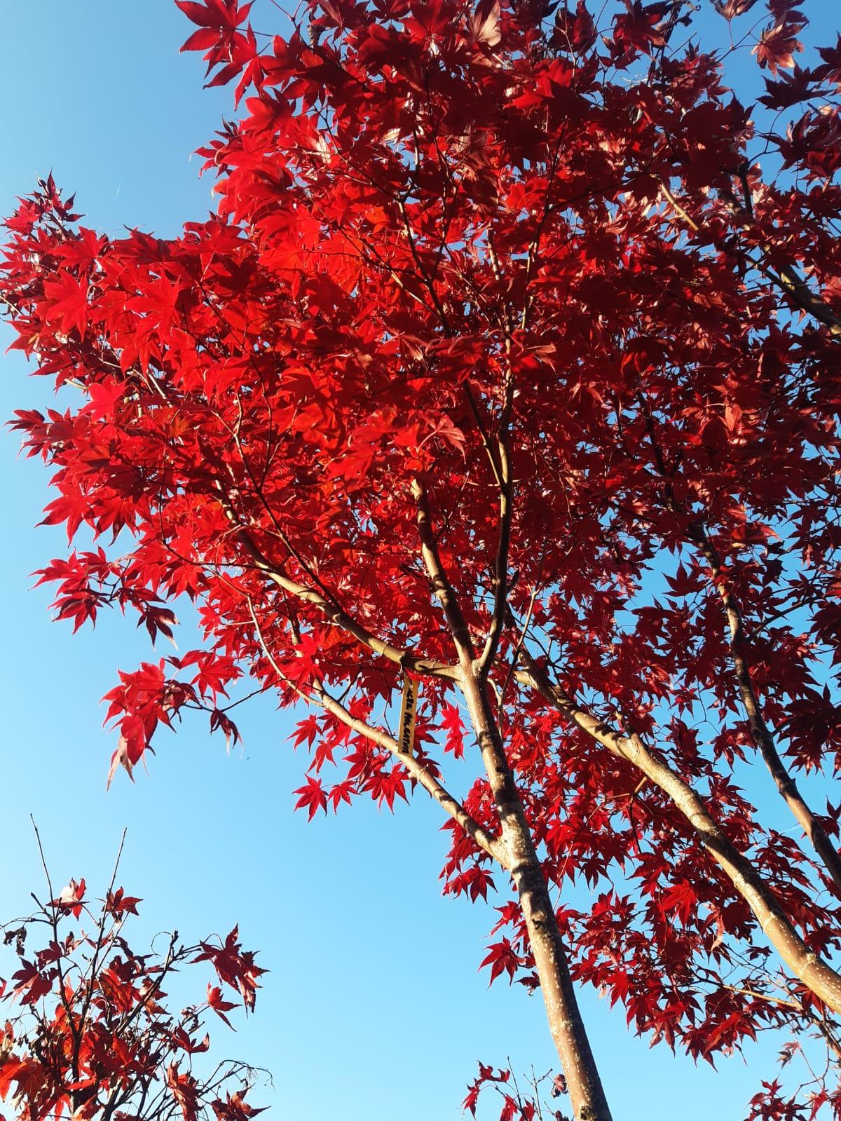 Acero Rosso autunno