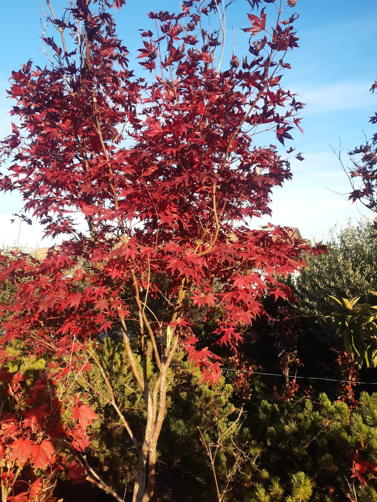 Acero Rosso vivaio
